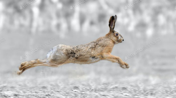 Black and white photography with color hare