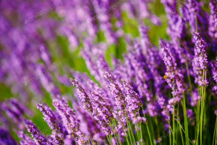 Beautiful Blooming Lavender Flowers. Summer season in Provence,
