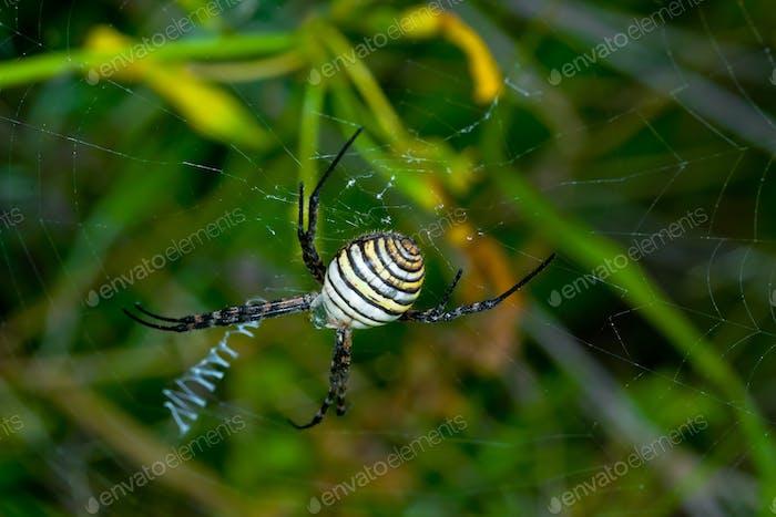 Spinne, Argiope bruennichi