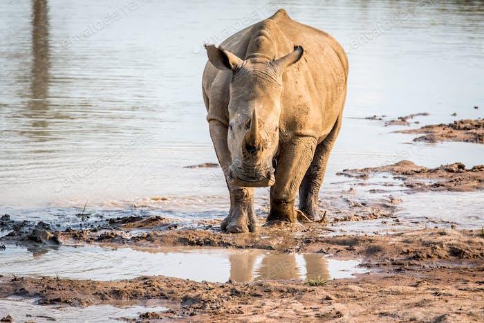White rhino standing in the water.