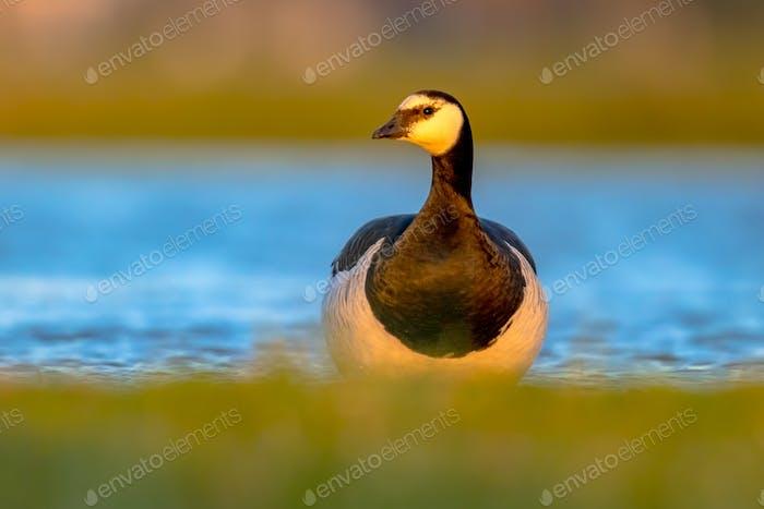 Barnacle goose migratory bird in wetland habitat
