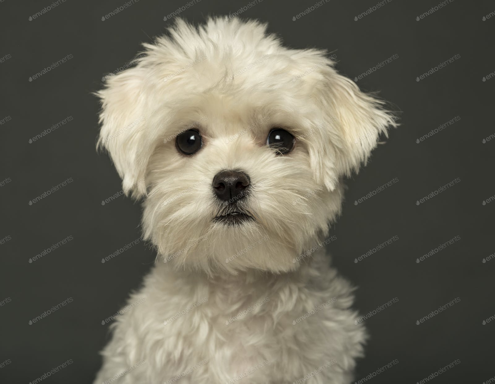 Close Up Of A Maltese Puppy Isolated