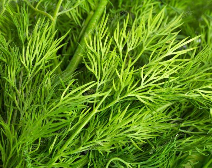 Grüne Blätter von Dill