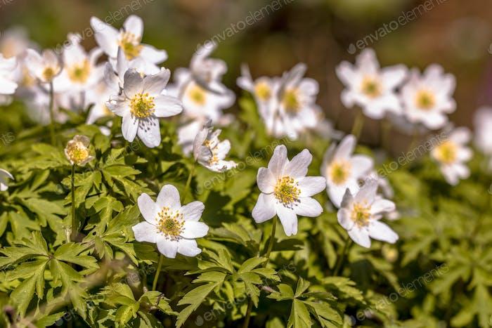 Flores de anémona de madera en marzo