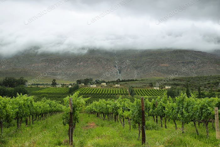 Vineyards in the way to Montagu