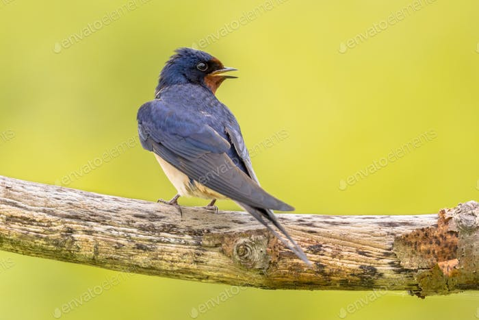 Barn swallow bright green background