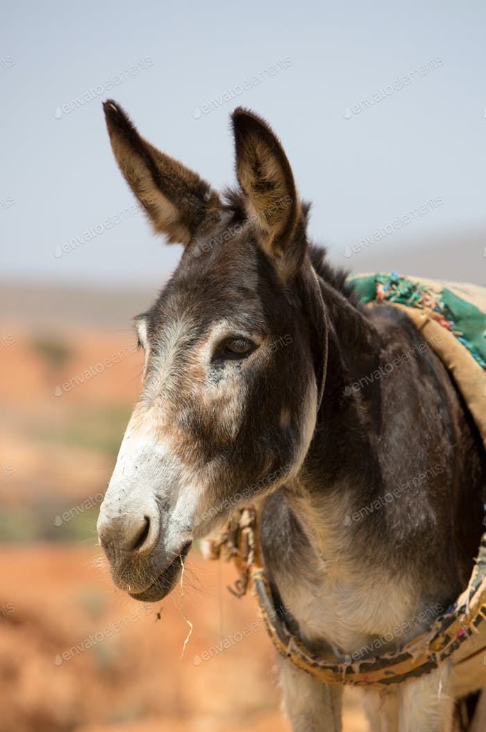 Portrait of Donkey in Morocco