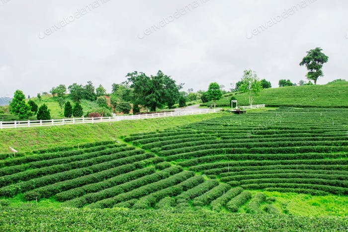 Tea plantation on the hill