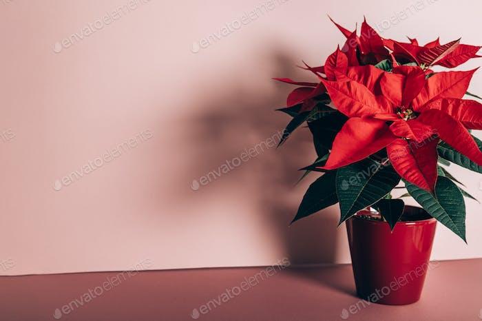 Christmas Poinsettia in ceramic pot