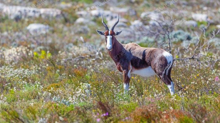 A Bontebok in Table Mountain National Park
