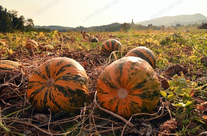 Pumpkin field with big orange ripe pumpkins