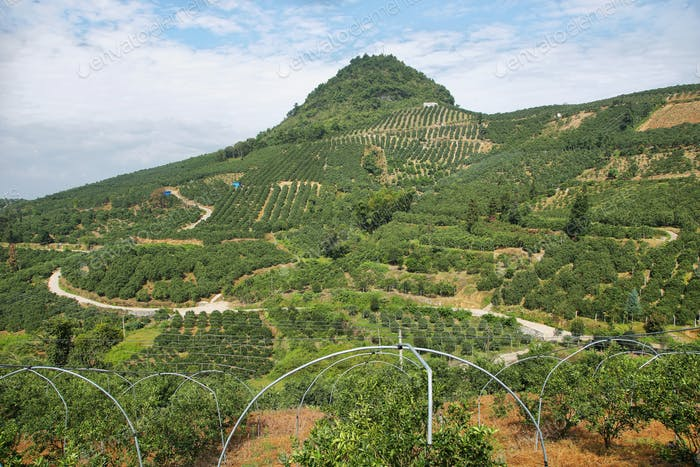 Kumquat trees plantation and valleys near Yangshuo,