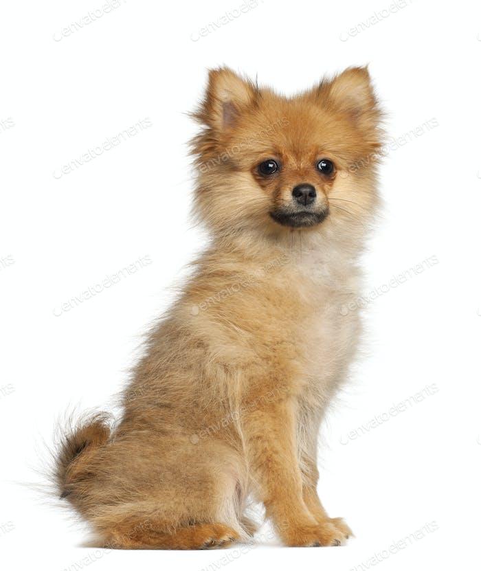Spitz puppy, 3 months old, sitting against white background