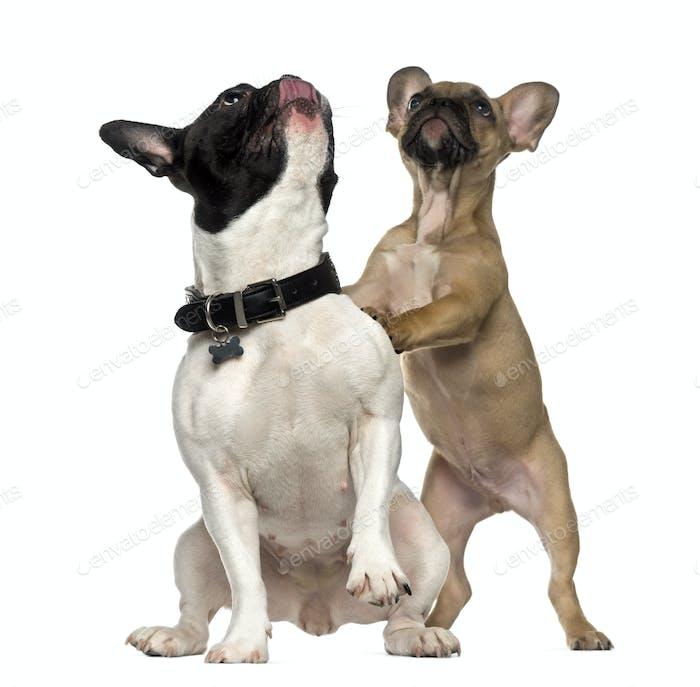 Zwei französische Bulldogs stehen und schauen nach oben