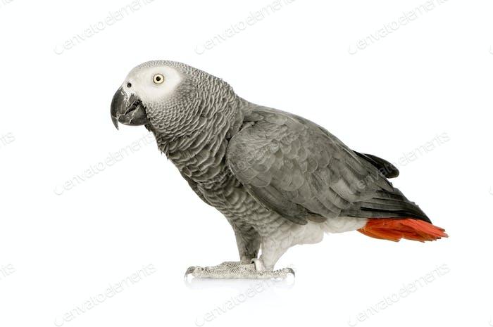 African Grey Parrot - Psittacus erithacus