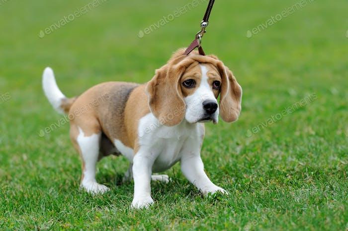Close Beagle dog