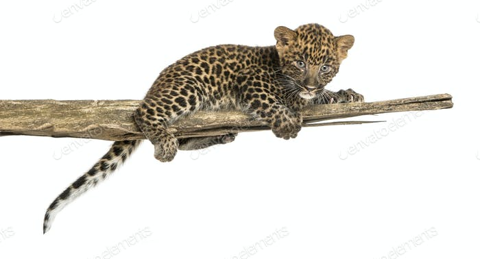 Spotted Leopard cub lying on a branch, 7 weeks old, isolated on white
