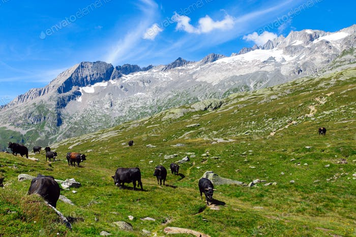 Cattle in the alps