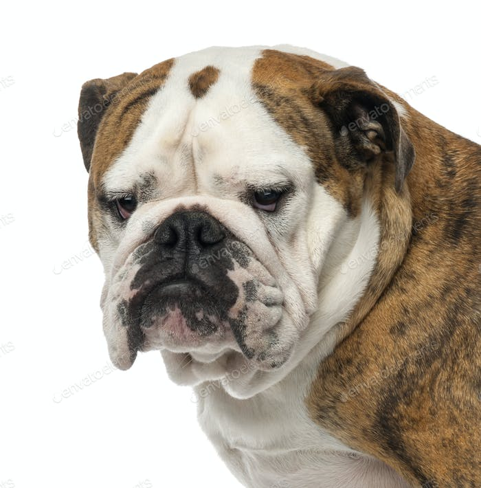 Close-up of an English Bulldog, 4 years old, looking away against white background