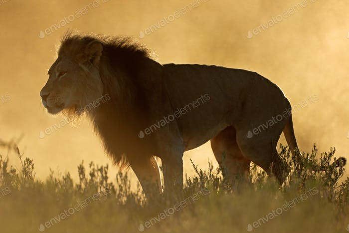 African lion at sunrise