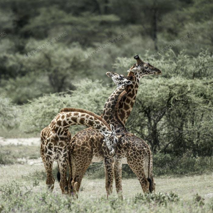 Giraffes playing in Serengeti National Park