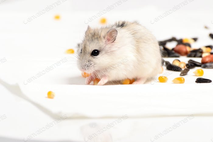 Jungar hamster on a white background