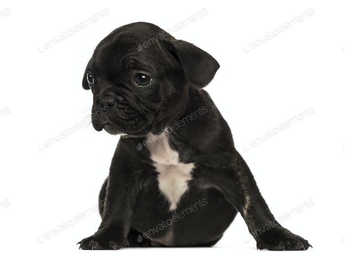 French bulldog puppy sitting, looking away, isolated on white