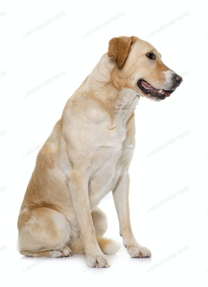 female labrador retriever