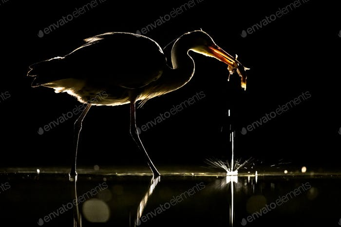 Silhouette of Grey heron with caught fish at night