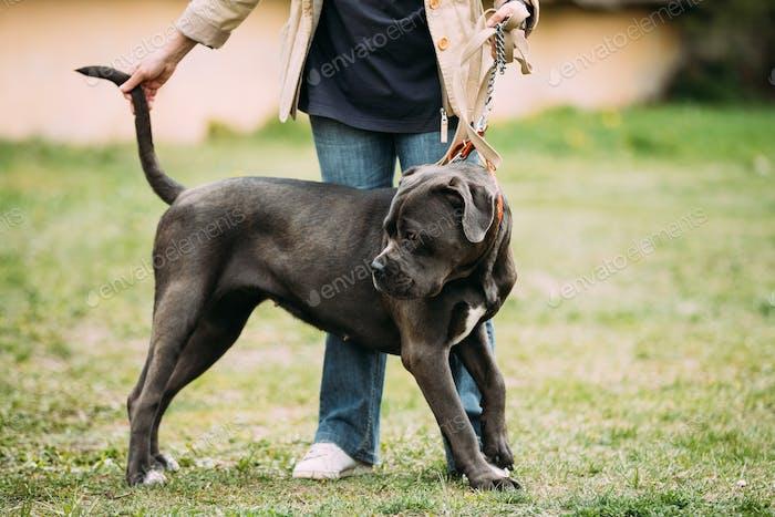 Black And White American Bulldog Dog Standing Near Woman In Gree