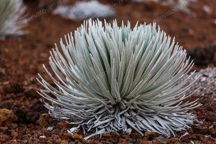 Haleakala Pflanze