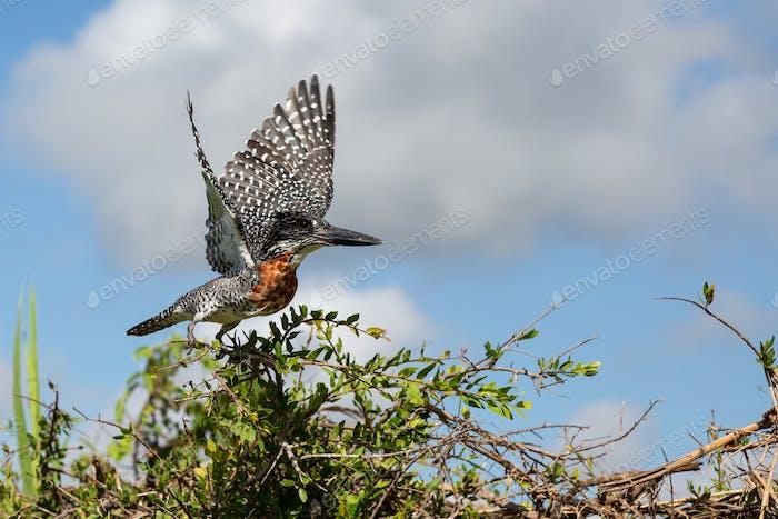 Ein riesiger Eisvogel, Megaceryle maxima, startet aus einem Busch in die Flucht, Flügel verbreiten