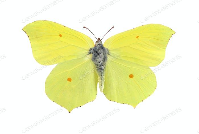 Gemeinsame Schwefel Schmetterling isoliert auf weiß