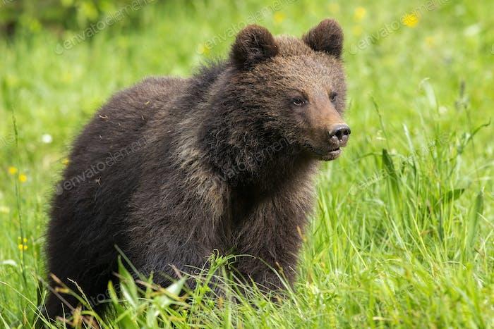 Baby braunes Bärenjunges stehend auf Wiese mit grünem Gras im Frühjahr