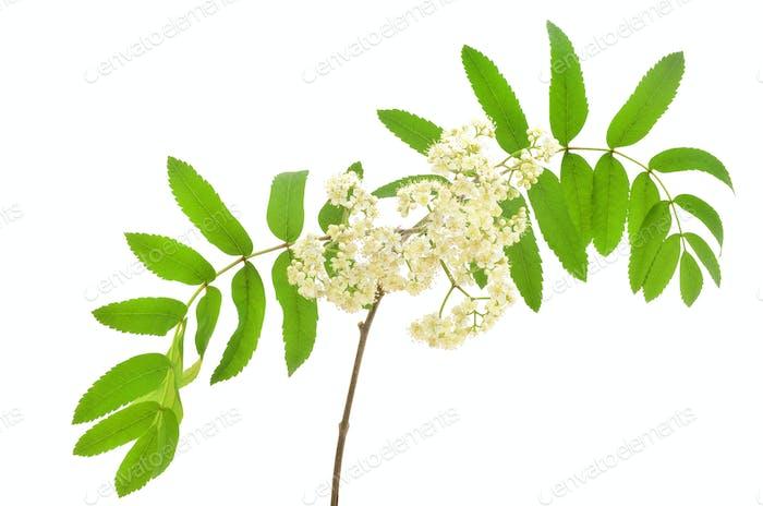 Blossoming Sorbus aucuparia