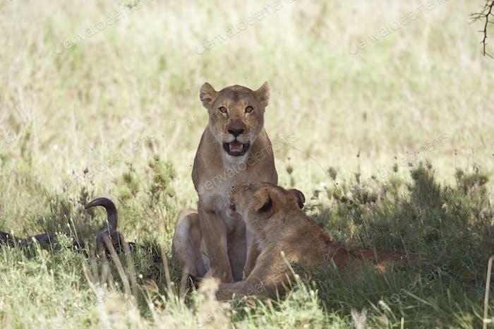 Пара львицы