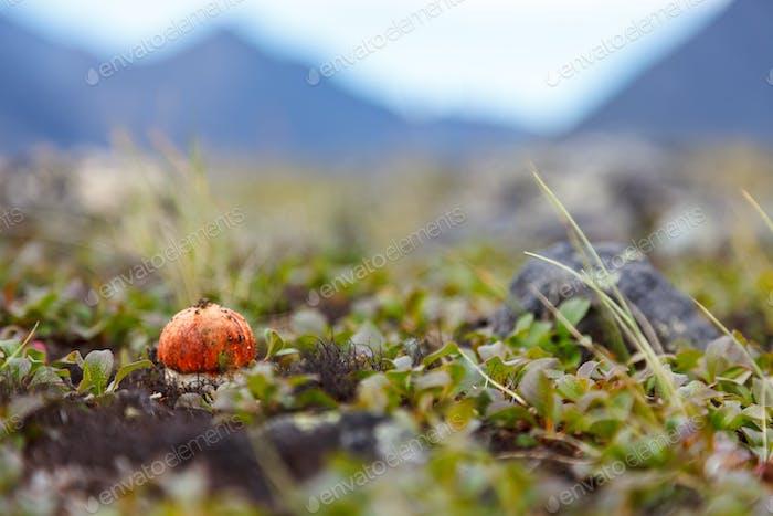 Seta de tapa naranja cerca en musgo sobre Fondo blanco
