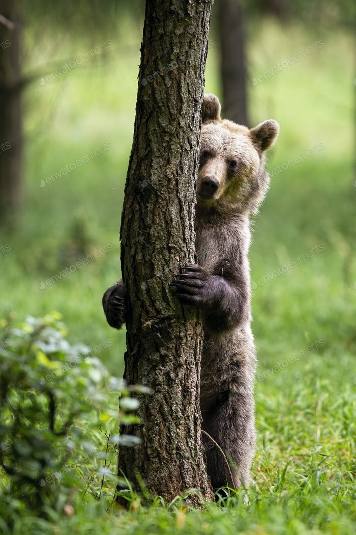 Shy brown bear hiding behind a tree in summer forest with green grass