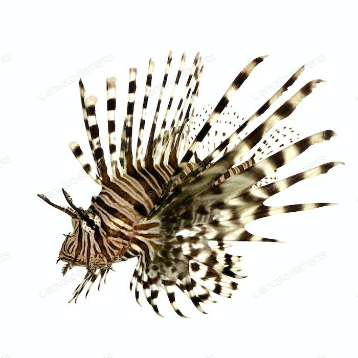 Red lionfish - Pterois volitans