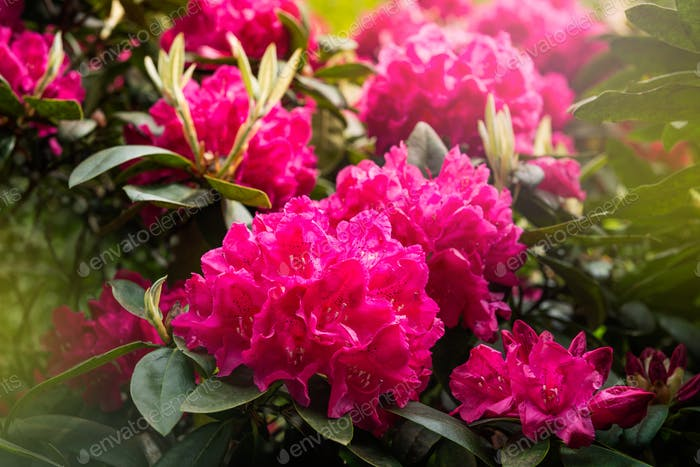 French Public Garden at late spring with Blooming Rhododendrons