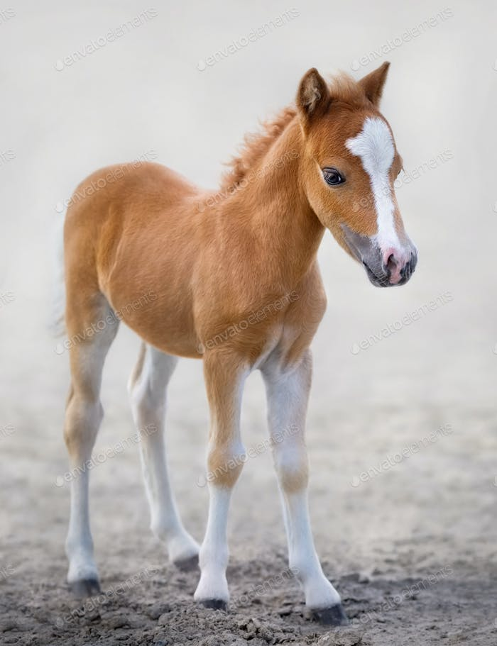 American Miniature Horse. Portrait chestnut foal with blaze faci