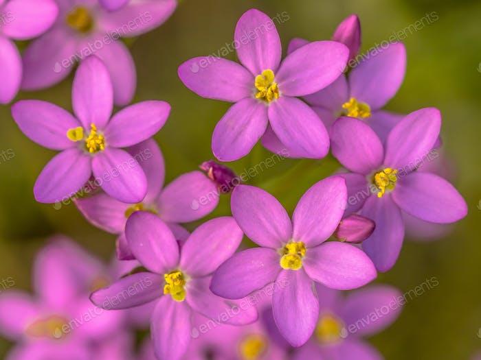 Centaurium flowers