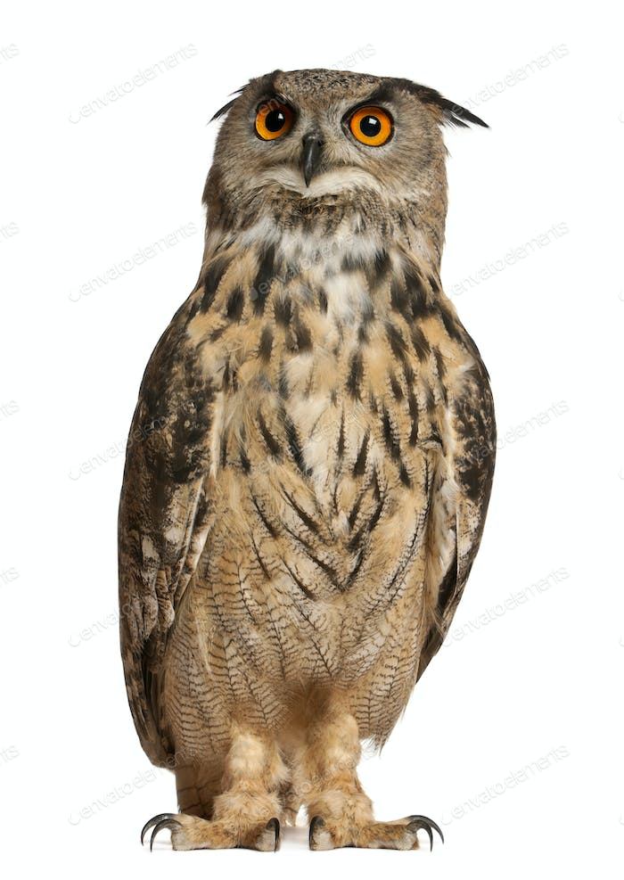 Portrait of Eurasian Eagle-Owl, Bubo bubo, a species of eagle owl, standing