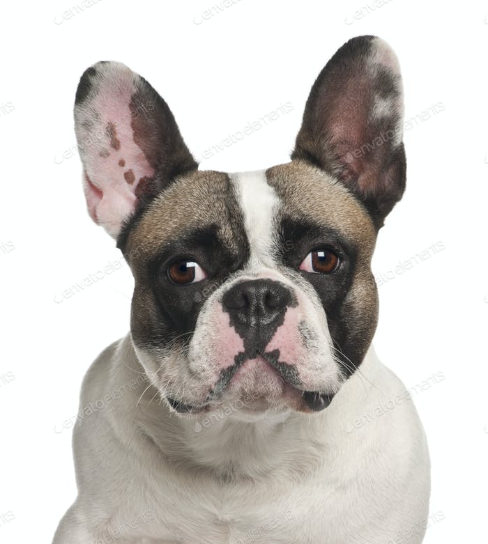 French Bulldog, 2 years old, against white background