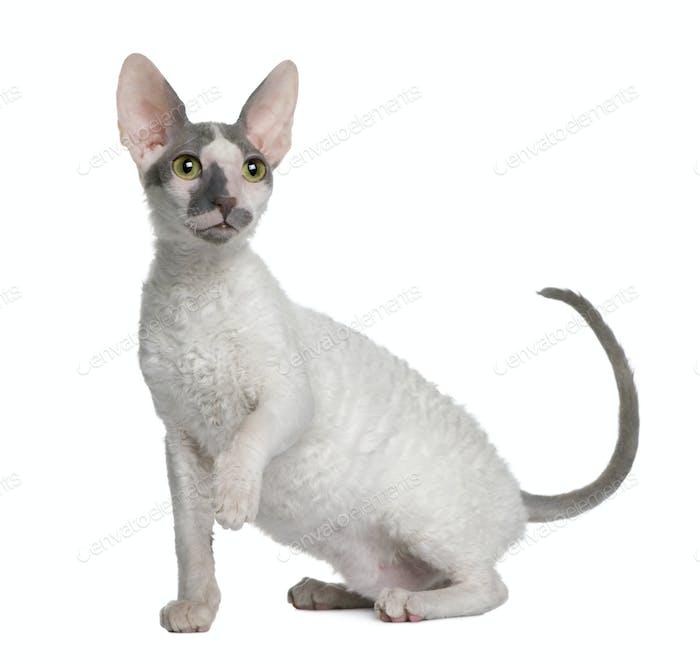 Cornish Rex gatito, 4 meses de edad, sentado frente al Fondo blanco