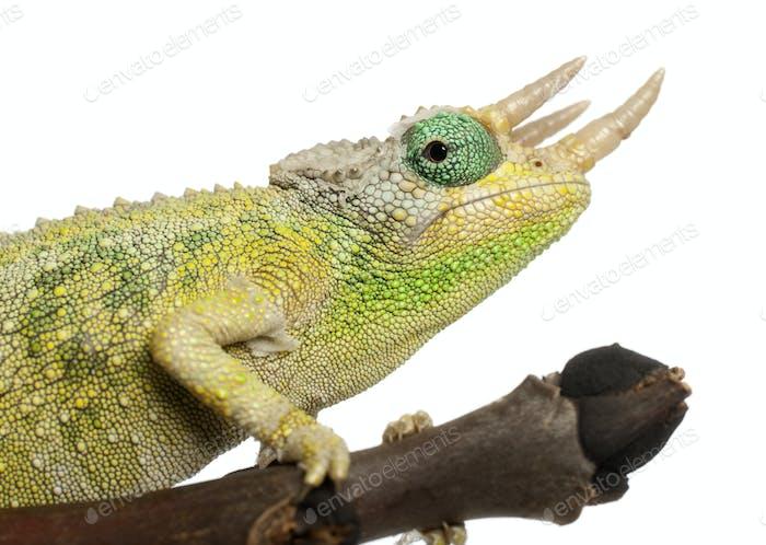 Close-up of Mt. Meru Jackson's Chameleon