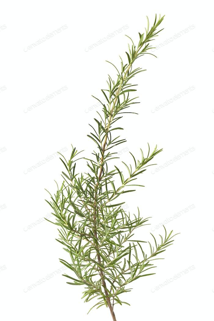 Branch of fresh rosemary