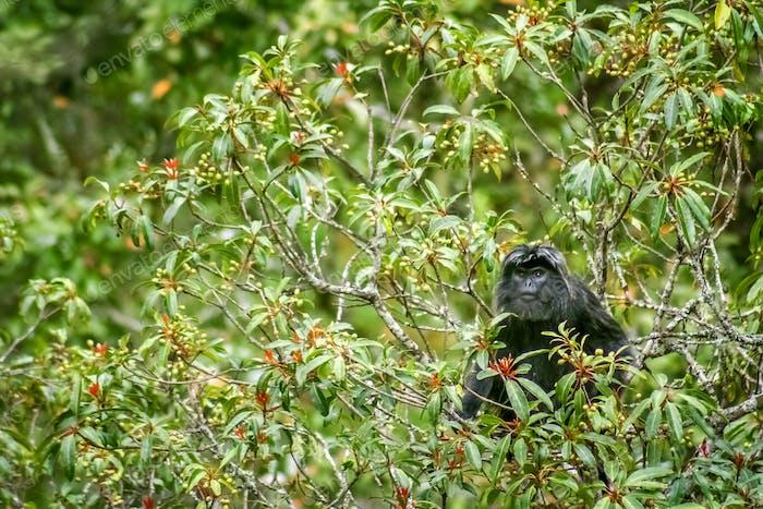 Black langur monkey