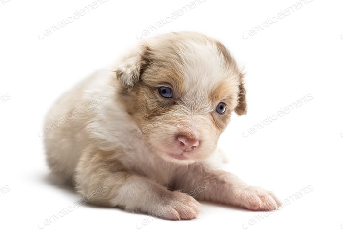 Australian Shepherd puppy, 24 days old, lying against white background