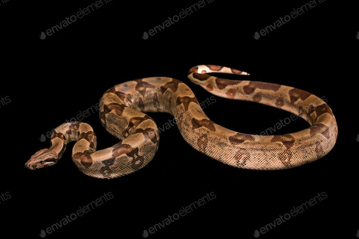 Boa constrictors  isolated on black background